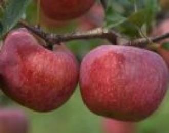 云南昭通丑苹果